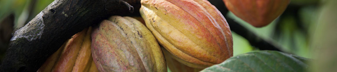 istock_000041689788_full-2_kakao-pflanze-crop-u4085